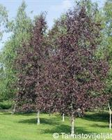 Punakoivu Rubra
