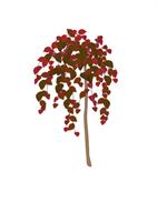 Riippapunapähkinäpensas