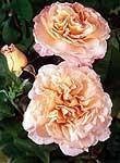 """Nostalgia ruusu """"Augusta luise"""""""