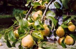 Perhepäärynäpuu