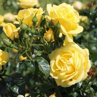 Pensastava ruusu Emil nolde