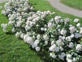 "Maankateruusu ""Aspirin rose"""