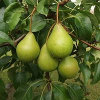 """Päärynäpuu """"Vekovaja"""""""