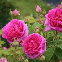 Ruusu Ruustinna