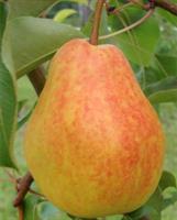 """Päärynäpuu """"Lada"""""""