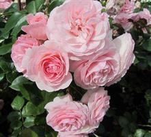 """Nostalgia ruusu """"Mariatheresia"""""""