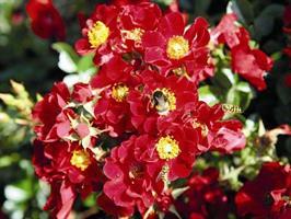 Hunajaruusu punainen