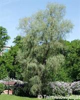 Hopeasalava Sibirica