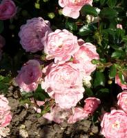Peittoruusu Rosa 'The Fairy'