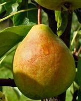 """Päärynäpuu """"Tsisovskaja"""""""