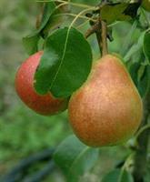 Päärynäpuu Pepi