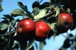 Omenapuu Jaspi