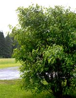 Mongolianvaahterapuu