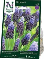 Pärlhyacint, Bredbladig, blåviolett/blå