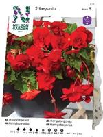Begonia, Häng-, Pendula, röd