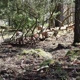 Lite tittut bland fallna gamla träd