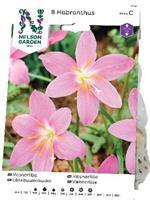 Väpnarlilja Habranthus robustus, rosa