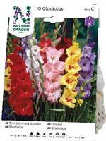 Gladiol, Storblom. bland. färger