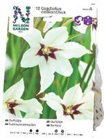 Doftlilja, Gladiolus murielae, vit