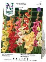 Gladiol, Fjärils-, bland. färger