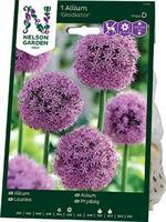 Allium, Gladiator, purpurrosa
