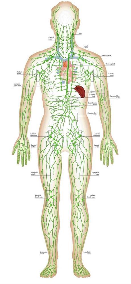 Lymfsystemet