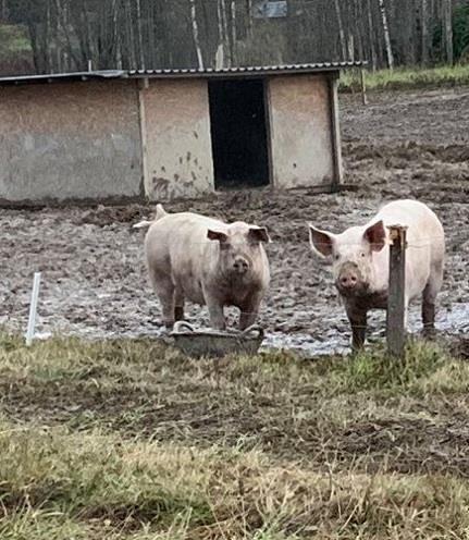 Är det månne Piggen och Piggy?