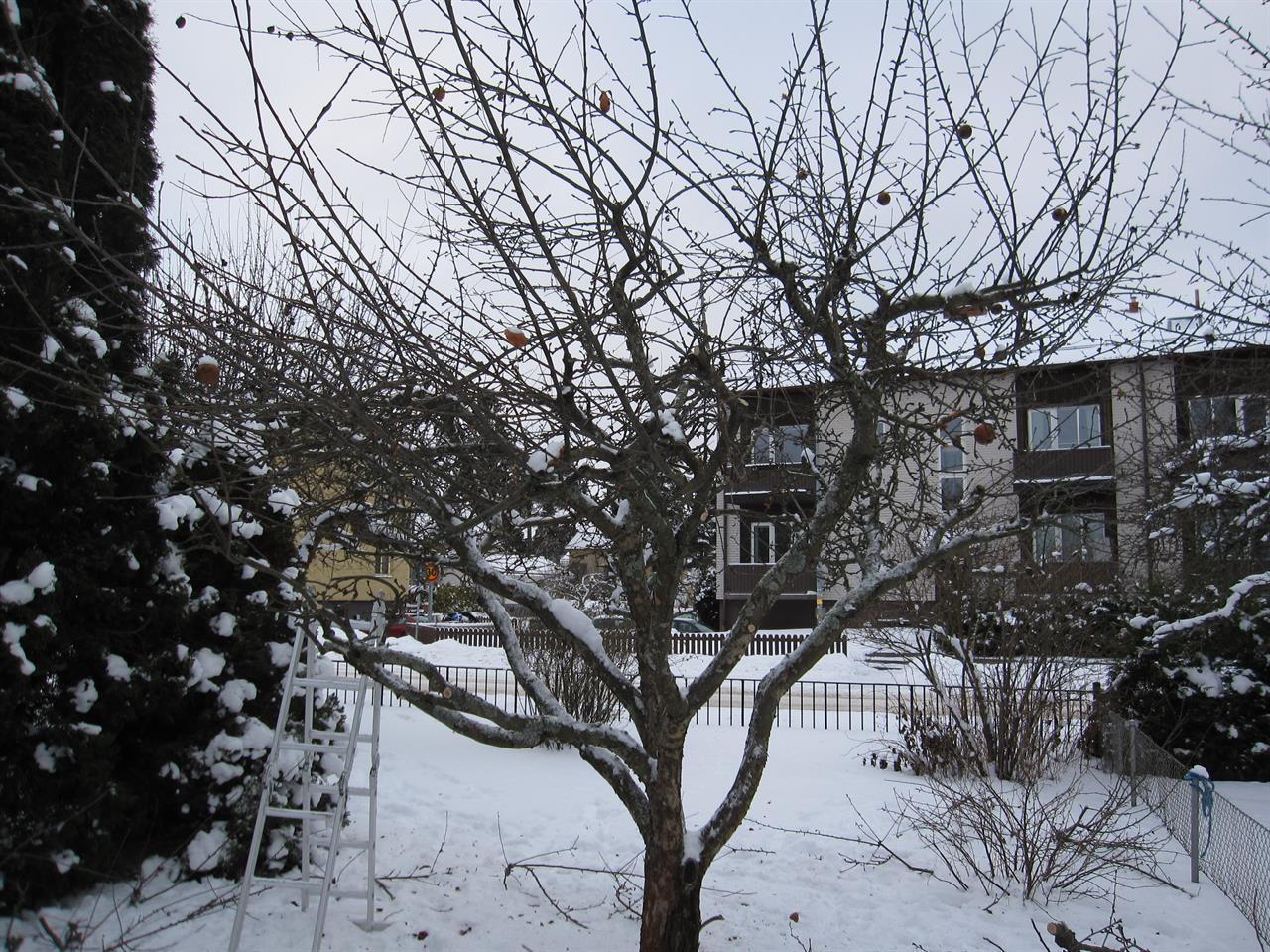 Medelstort äppelträd efter beskärning