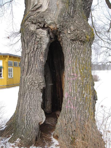 Gamla träd kan bevaras