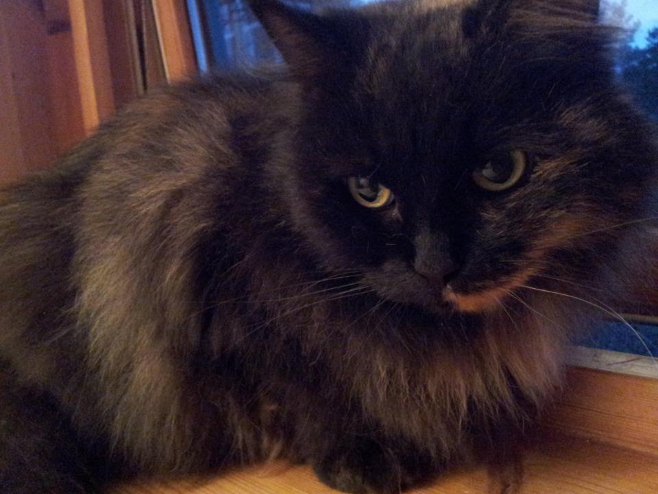 Dette er Lila, en av fire katter på samme adresse som fikk pass ved juletider. Hun er glad i å være ute. Da går hun i bånd.
