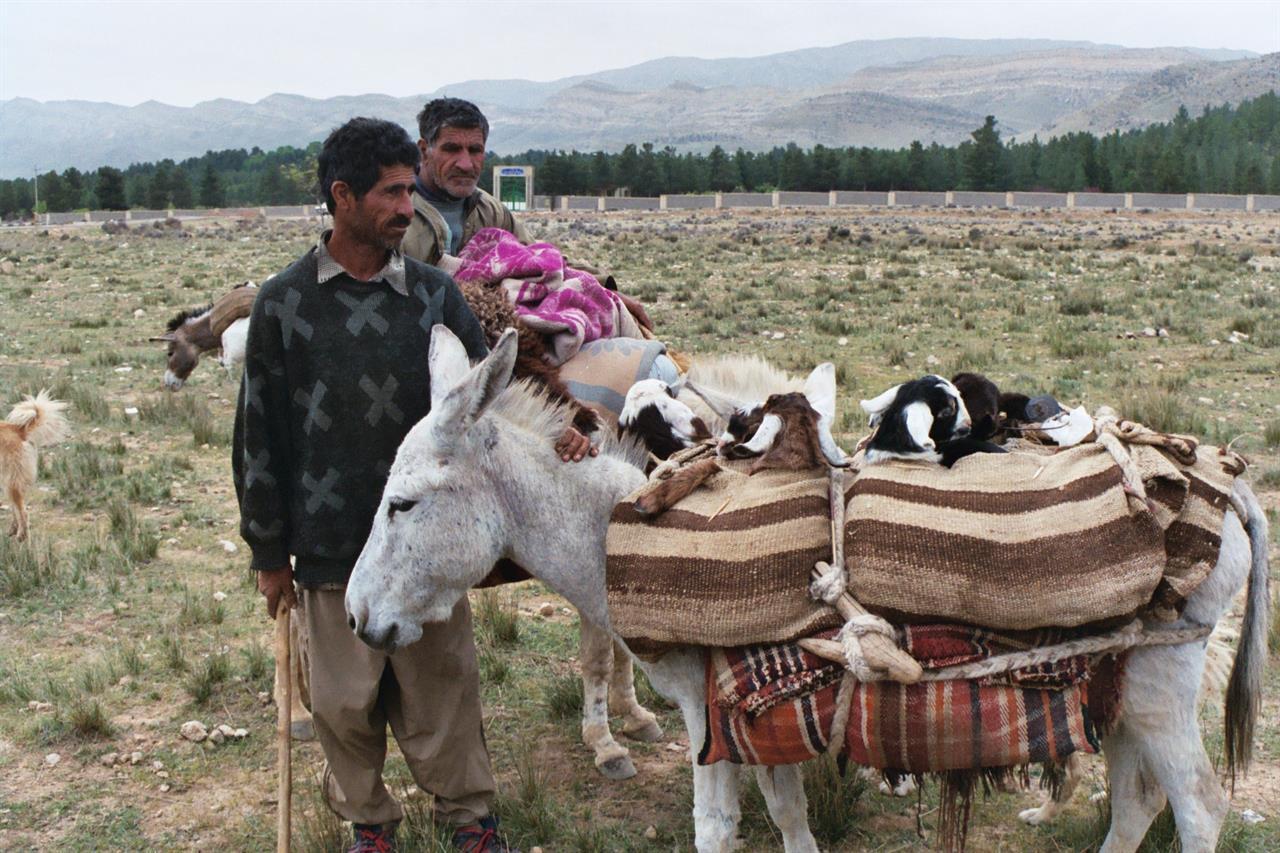 Lam transporteres på vei til qashqai-nomadenes sommerbeite