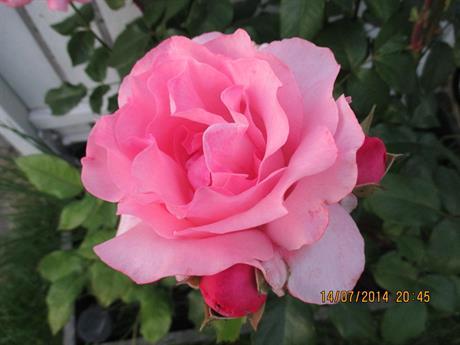 Plantera rosor
