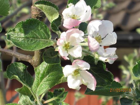 Gyllenkroks Astrakan i blom