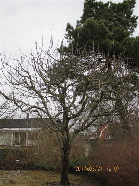 Varsam beskärning ger naturlig form på träd
