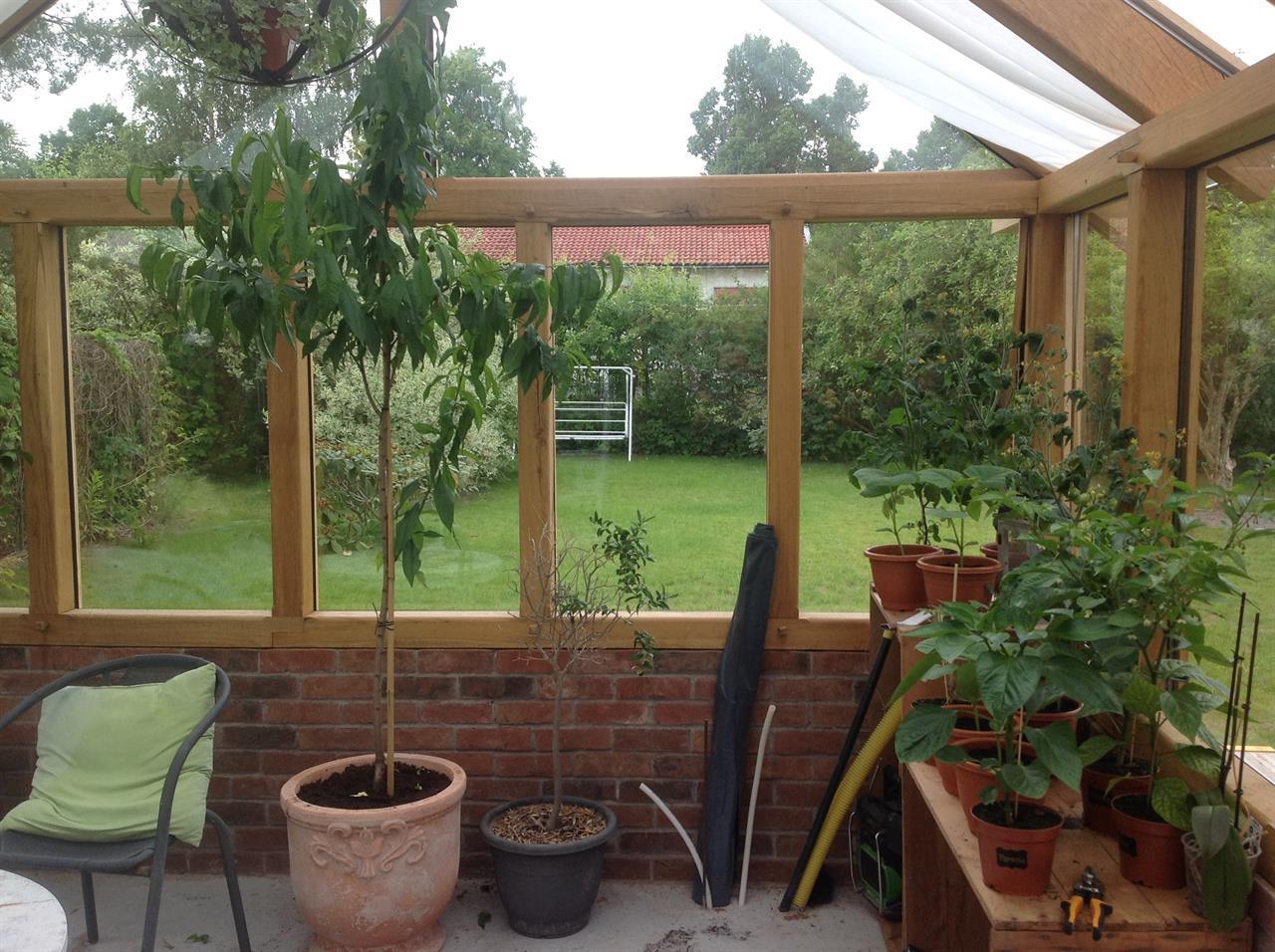 Persikoträd inne i växthuset