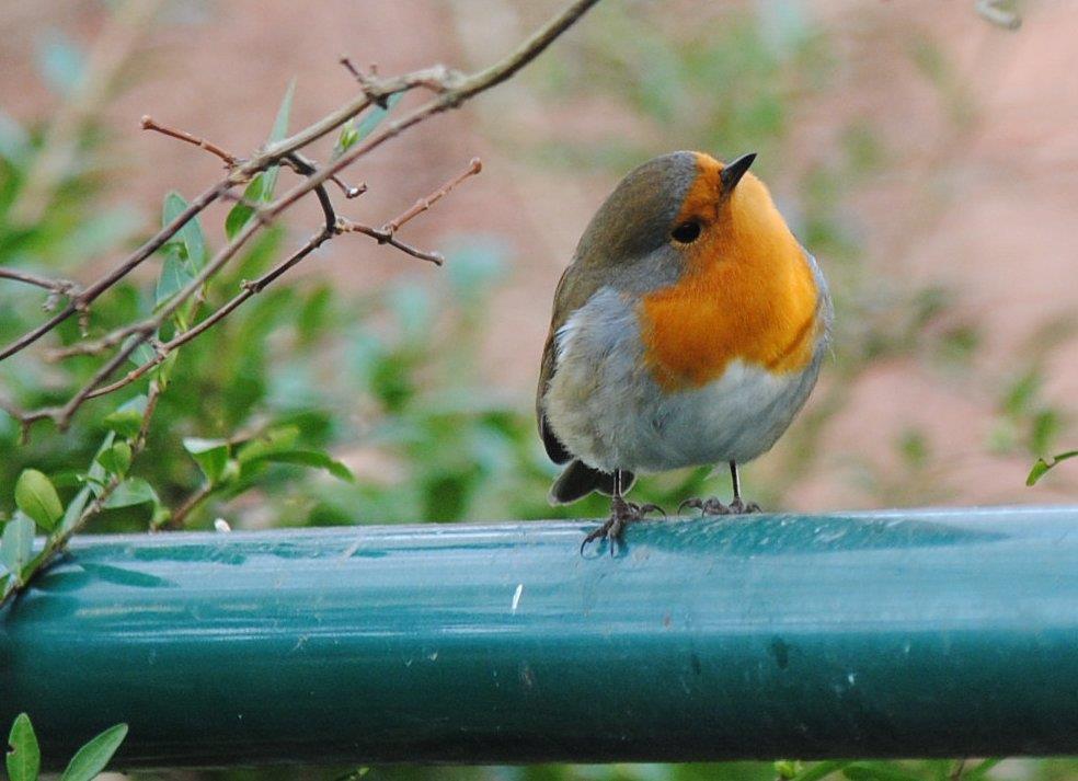 Rödhaken gillar små ekologiska skalade hampafrön och hackade solroskärnor vid fågelbordet