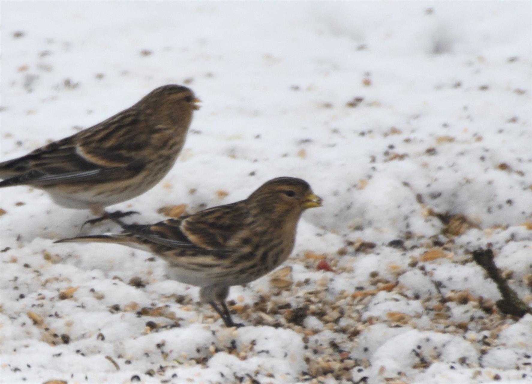 Vinterhämplingar äter ekologiska åkerfrön på fågelmatning i slättbygd
