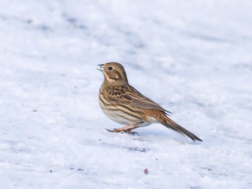Tallsparv hona eller ungfågel på fågelmatning