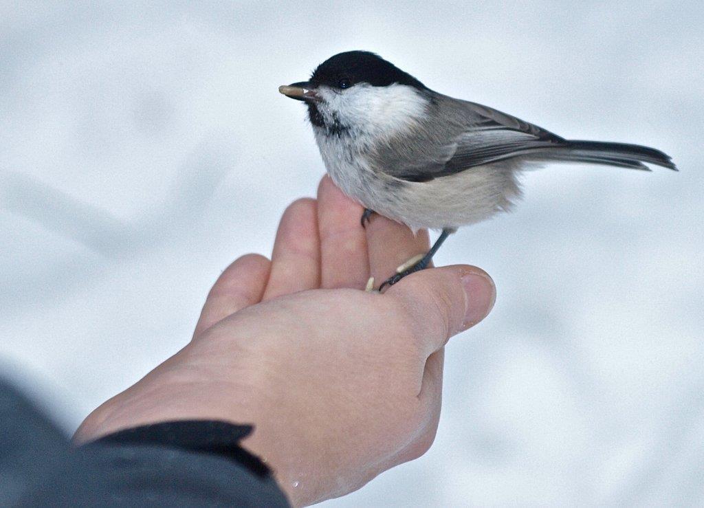 Talltita kan var oskygg och äta fågelfrön ur handen