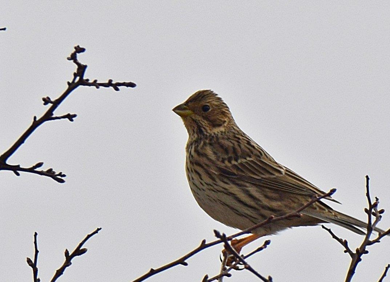 Kornsparv behöver stor biologisk mångfald för att hitta fågelmat året runt.