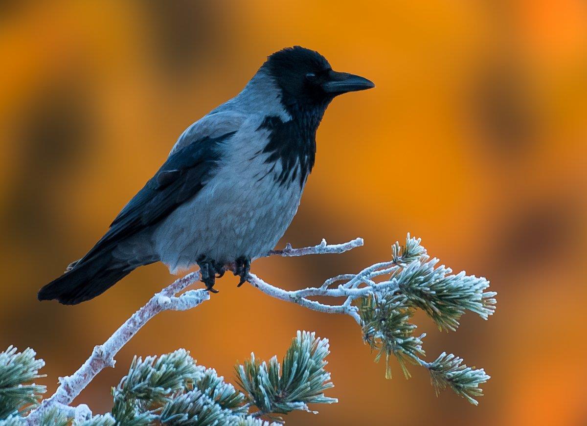 Kråka en marsmorgon - väntar på fågelmat