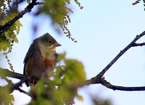 Ortolansparv, sällsynt i april - maj på fågelmatning
