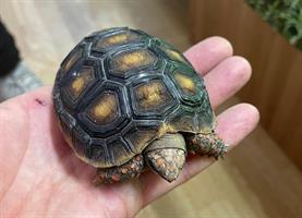 Chelonoidis carbonaria, Rödfotad skogssköldpadda
