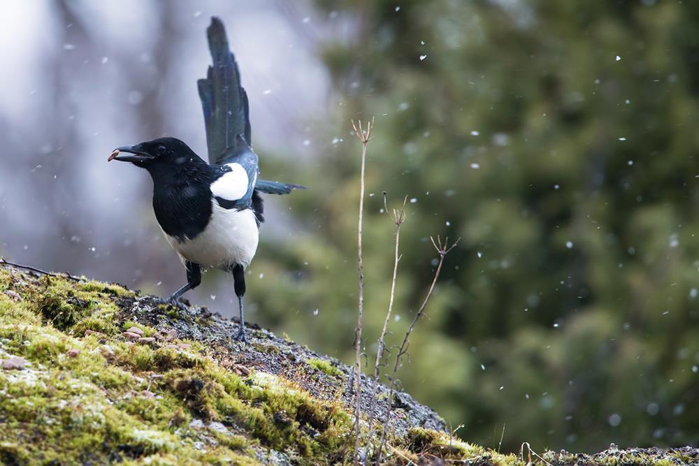 Skatan gillar skulor talg och alla möjliga fågelfrön