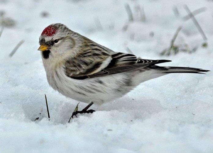 Snösiskan håller ihop med gråsiskor på fågelmatningar