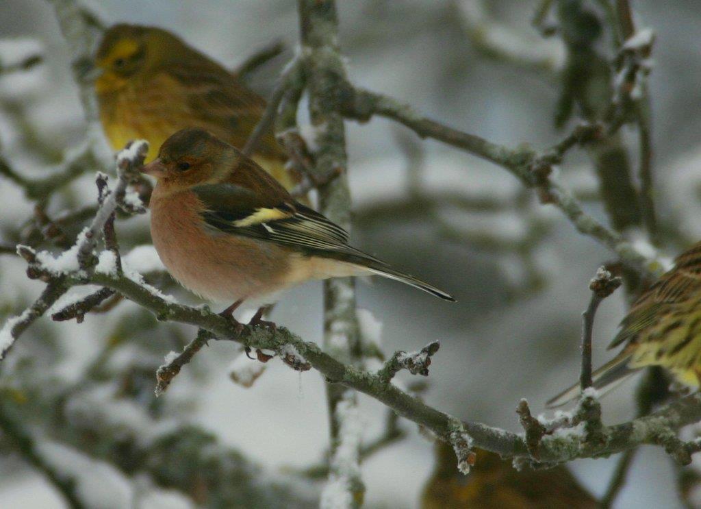 Bofink på vintern med gulsparvar i ett träd