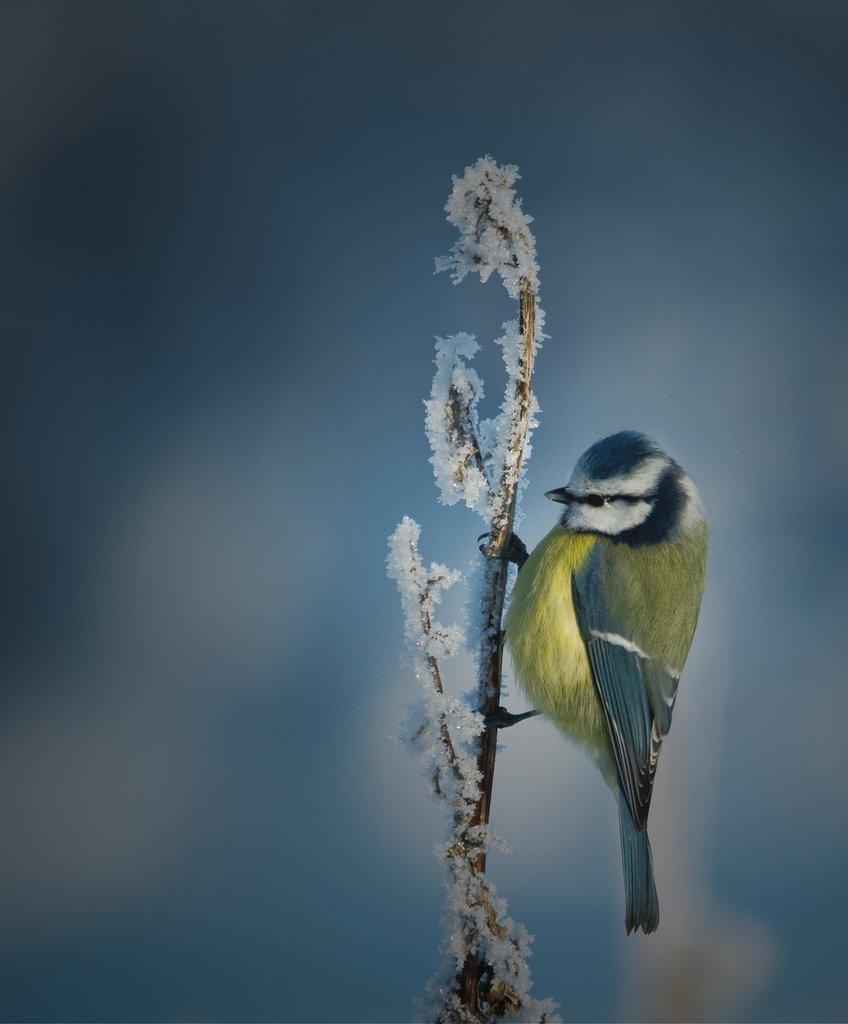 Blåmes är en av de vanligare gästerna vid fågelmatning