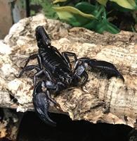 Heterometrus longimanus, Asiatisk Skogsskorpion