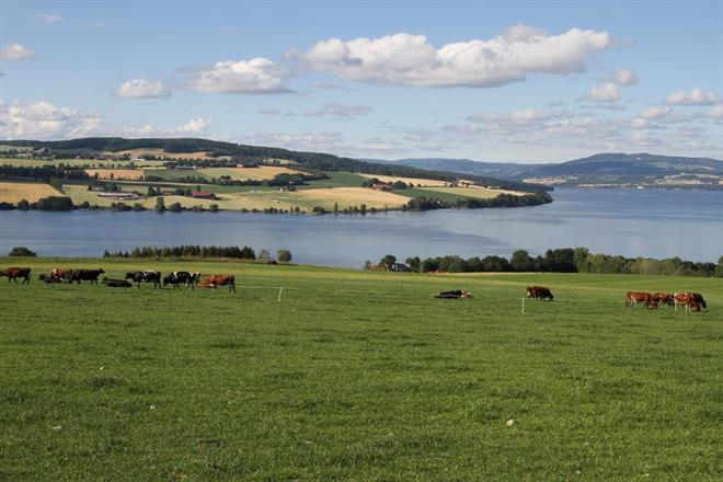 Kua på Heggen koser seg på beite på Helgøya