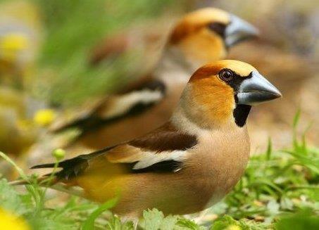 stenknäcken exotisk gäst vid fågelbordet som gillar ekologisk fågelmat